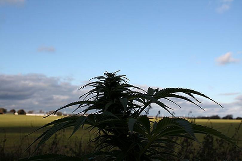 Cannabis vs. Industrihamp