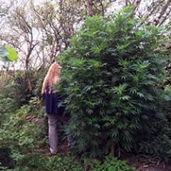 Mike Greens guide til store cannabisplanter udendørs